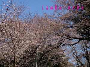 20110404sakura2