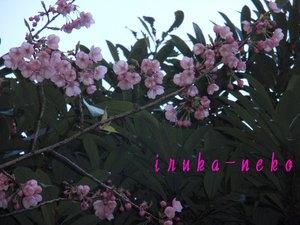 20110404sakura8