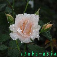 20110611barapink