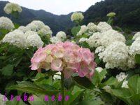 20110703ajisai3