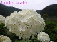 20110703ajisai4