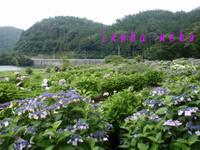 20110703ajisai5