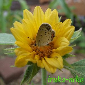 20110721himawari