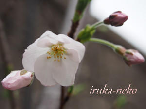 20140325sakura