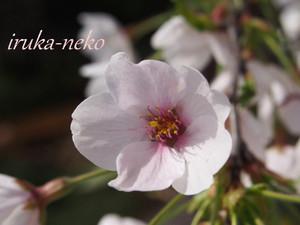 20140401sakura