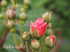 20140501niwa10